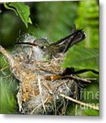 Broad-billed Hummingbird In Nest Metal Print