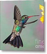 Broad-billed Hummingbird Metal Print by Jim Zipp