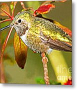 Broad Tailed Hummingbird Metal Print
