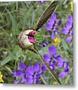 Broad-tailed Hummingbird - Phone Case Metal Print by Gregory Scott