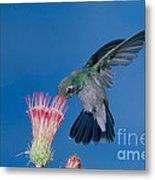 Broadbill Hummingbird Feeding At Flower Metal Print
