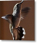 Broadtail Female Anna In Flight  Metal Print