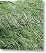 Brome Grass In The Hay Field Metal Print