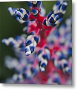 Bromeliad - Aechmia Dichlamydea - Guzmania Lingulata Metal Print