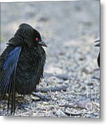 Bronzed Cowbird Display Metal Print