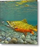 Brook Trout And Royal Coachman Metal Print