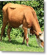 Brown And White Cow Grazing Metal Print