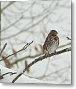 Brown And White Speckled Bird On Snowy Limb Metal Print