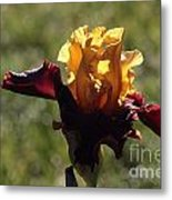 Brown And Yellow Iris Metal Print