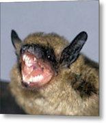 Brown Bat Eptesicus Fuscus Metal Print