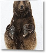 Brown Bear Holding Its Paws Germany Metal Print