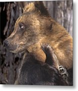 Brown Bear Tackles An Itchy Foot Endangered Species Wildlife Rescue Metal Print