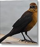 Brown Cowbird Metal Print