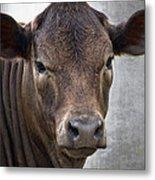 Brown Eyed Boy - Calf Portrait Metal Print