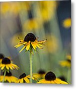 Brown Eyed Susans On Yellow And Green Metal Print