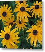 Brown Eyed Susans Metal Print