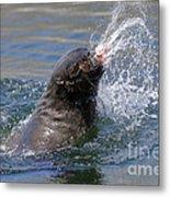 Brown Fur Seal Throwing A Fish Head Metal Print