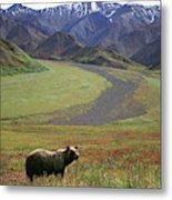 Brown Grizzly Bear In Denali National Metal Print