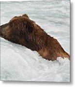 Brown Grizzly Bear Swimming  Metal Print