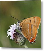 Brown Hairstreak Metal Print