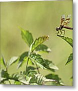 Brown Hawker Dragonfly Metal Print