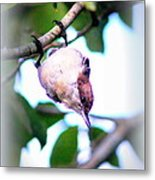 Brown-headed Nuthatch 9173-006 Metal Print