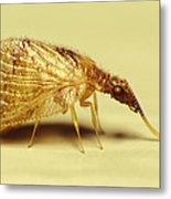Brown Lacewing Fly Metal Print