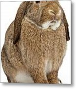 Brown Lop-earred Rabbit Isolated On White Metal Print