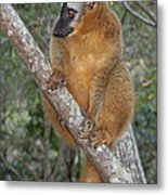 brown Maki Madagascar 1 Metal Print