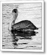 Brown Pelican - Black And White Metal Print