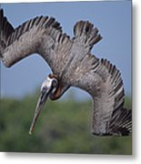 Brown Pelican Diving Academy Bay Metal Print