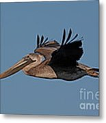 Brown Pelican Pelecanus Occidentals  Photo By Pat Hathaway 2007 Metal Print