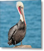 Brown Pelican Pelecanus Occidentalis Metal Print