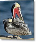 Brown Pelican Preening Metal Print