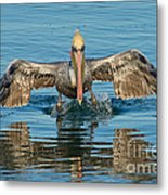 Brown Pelican Taking Off Metal Print