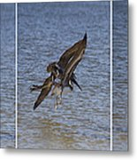 Brown Pelican - Triptych Metal Print