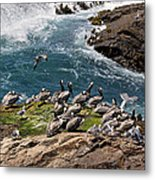 Brown Pelicans And Gulls On The Reef Metal Print