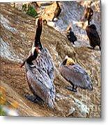 Brown Pelicans At Rest Metal Print