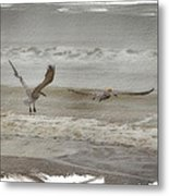 Brown Pelicans Metal Print