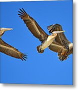 Brown Pelicans In Flight Metal Print