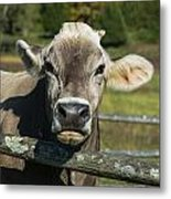 Brown Swiss Cow Metal Print