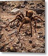 Brown Tarantula Metal Print