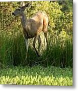Buck At Pond  Metal Print