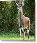 Buck In The Meadow Metal Print