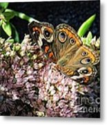 Buckeye Butterfly On Sedum Metal Print