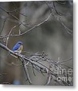 Budding Bluebird Metal Print