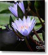 Budding Purple Water Lilies Metal Print