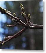 Buds Of Spring Metal Print by Michael Sokalski