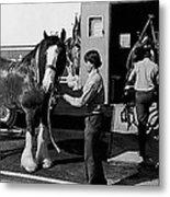 Budweiser Clydesdales Los Vaqueros Rodeo Parade Tucson Arizona 1984 Metal Print
