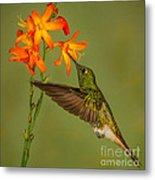 Buff-tailed Coronet Hummingbird No 1 Metal Print